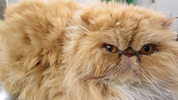Persian cat before bath and groom