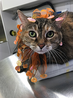 Another groomed kitty with Halloween attire